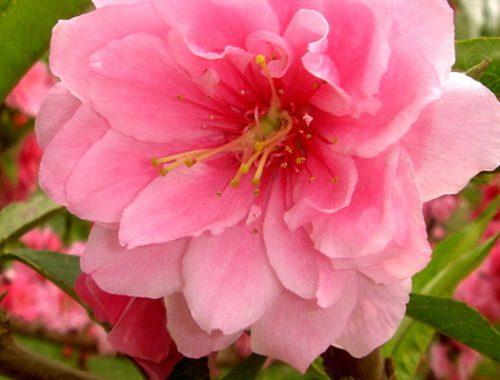 цветок романтики